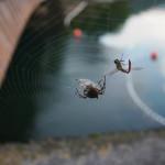 Bild 41. Eine Spinne beim Verzehr.